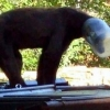 thumbs stuck head 14 Wild bear gets head stuck in a jug   and other animals in peril (photos)