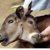 thumbs two headed calf Child Born With Two Faces In Pakistan: Photos