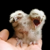 thumbs two headed owl Child Born With Two Faces In Pakistan: Photos