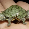 thumbs two headed tortoise Child Born With Two Faces In Pakistan: Photos