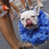 thumbs 12752324 Blocao dog carnival parade in Rio de Janeiro   photos