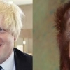 thumbs boris orangutan 3 Boris Johnson looks like an orangutan