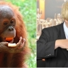 thumbs boris orangutan 4 Boris Johnson looks like an orangutan