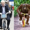 thumbs boris orangutan Boris Johnson looks like an orangutan