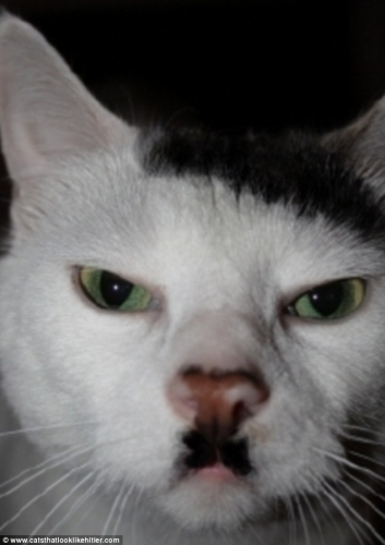 Cats That Look Like Hotler