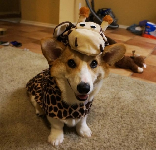 corgnelius 1 Corgnelius is the worlds cutest corgi