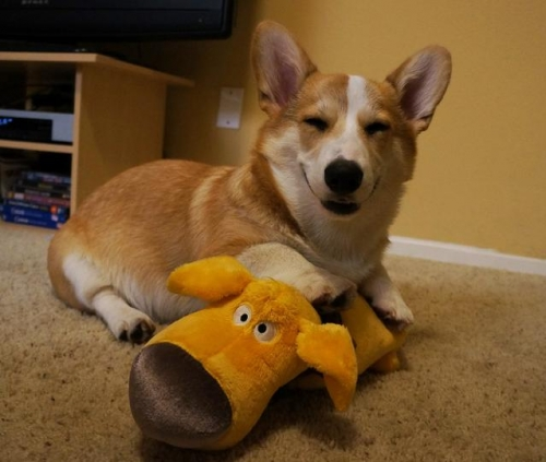 corgnelius 5 Corgnelius is the worlds cutest corgi