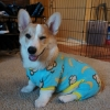 thumbs corgnelius 3 Corgnelius is the worlds cutest corgi