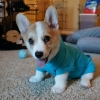 thumbs corgnelius 4 Corgnelius is the worlds cutest corgi