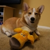 thumbs corgnelius 5 Corgnelius is the worlds cutest corgi