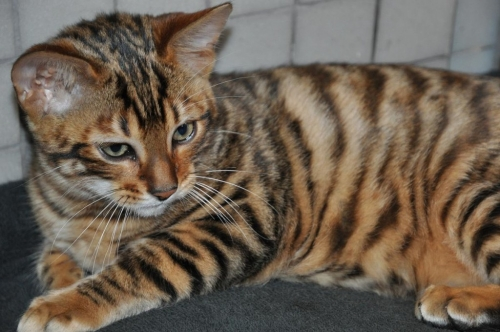 Cats that look like tigers