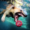 thumbs tumblr lzqygkgplm1qd8uj8o7 1280 Underwater dogs in photos
