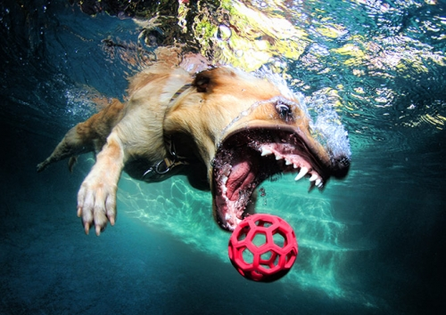 tumblr lzqygkgplm1qd8uj8o7 1280 Underwater dogs in photos