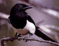 magpie-barclays.jpg