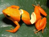 orange_frog_thumb.jpg