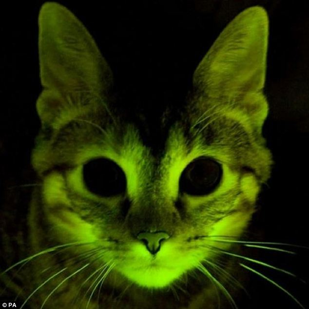 glow in dark cats Glowing Live Cats To Replace Cats Eyes On Motorways: Photos