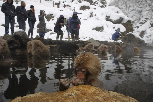 PA 10096648 The Snow Monkeys of Japan (photos)