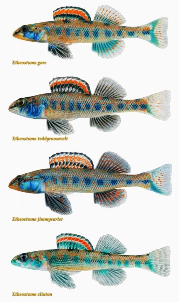 president fish 610x1024 New fish species named after Theodore Roosevelt, Jimmy Carter, Bill Clinton, Al Gore and Barack Obama