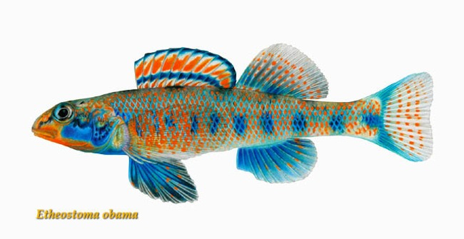 spangled darter New fish species named after Theodore Roosevelt, Jimmy Carter, Bill Clinton, Al Gore and Barack Obama