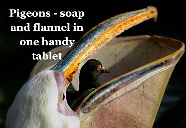 4746602 Pigeons to be tinkered with so they defecate soap