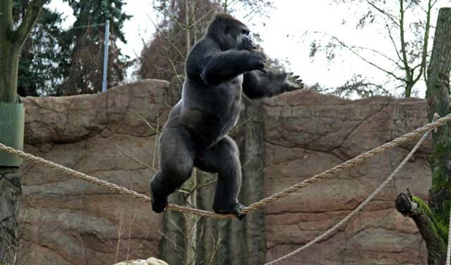 Kidogo2 Kidogo is the tightrope walking gorilla
