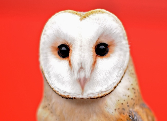 PA 15460219 Face of the day: the London Zoo Annual Stocktake Barn Owl