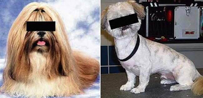 Shih Tzu Shaving a shih tzu and the thinking skills programme