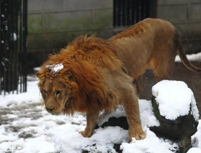 lion 06 The most depressing thing you will see today: snowballers v lions