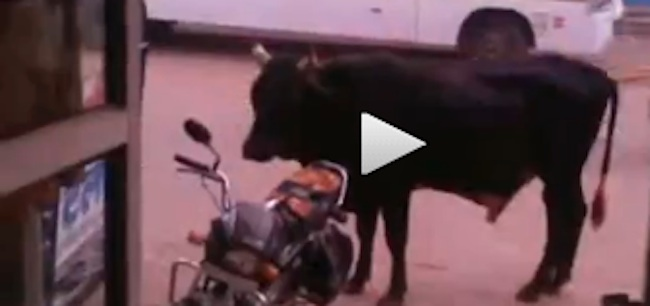 cow sex bike Cow mates with mortorcycle (video)