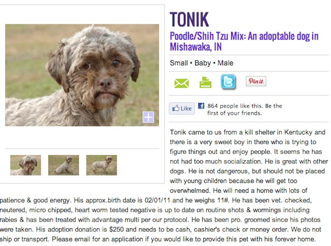 tonik Dog face: Tonik the Poodle/Shih Tzu mix has a human face