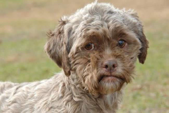 tonik1 Dog face: Tonik the Poodle/Shih Tzu mix has a human face