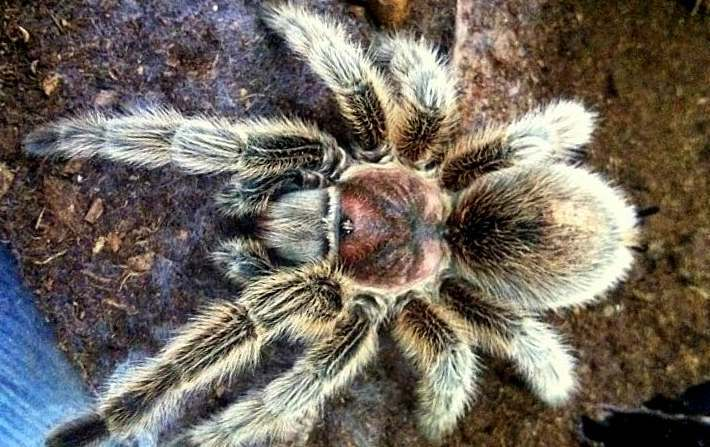 Chilean Rose tarantula wales Giant asbestos tarantula found in Welsh attic