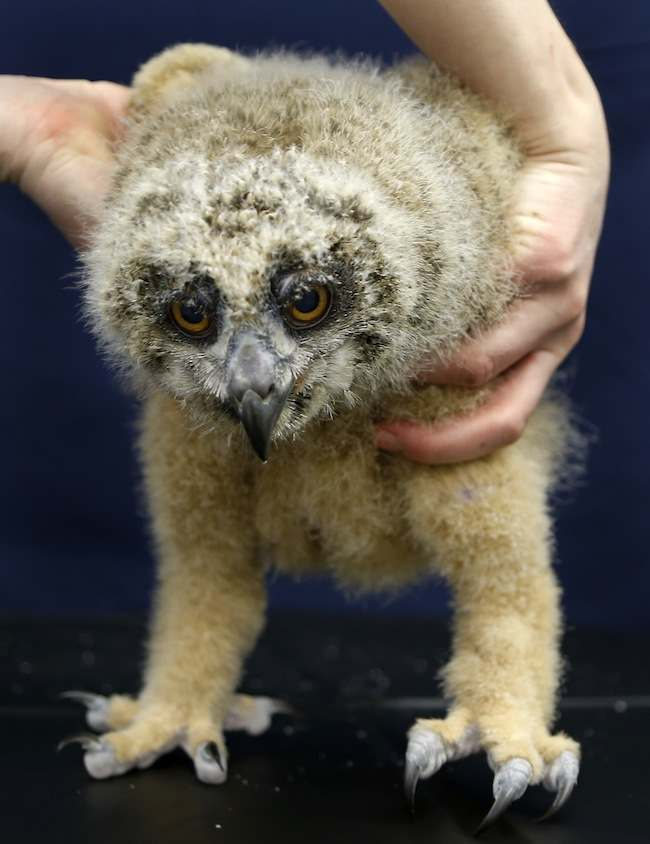 PA Baby Owl