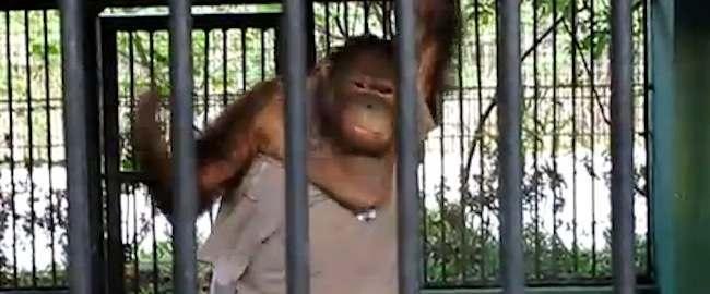 carlo the orangutan