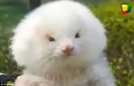 ferret dog 1 Man buying two poodles takes home ferrets on steroids 