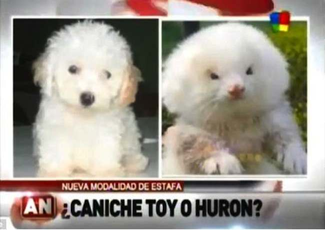 ferret dog Man buying two poodles takes home ferrets on steroids