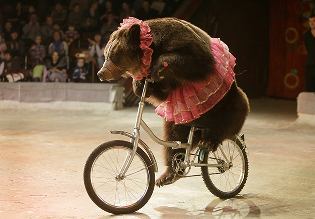 PA 15625404 Who stole the bears bicycle? Circus performer seeks new act