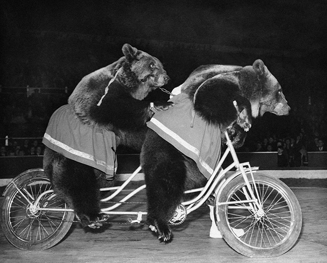 PA 9518336 Who stole the bears bicycle? Circus performer seeks new act