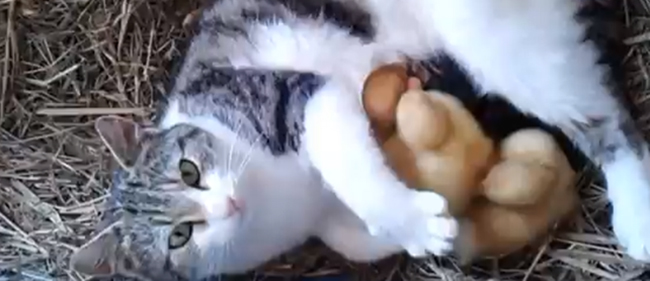 cat breastfeeds duck Cat breastfeeds three ducklings (video)