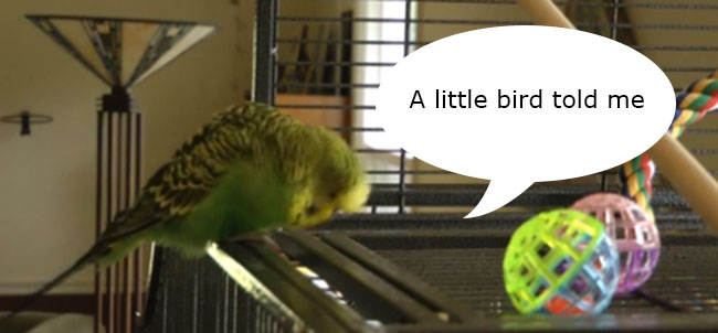 disco parakeet copy Disco the talking parakeet can bang on a bit (video)