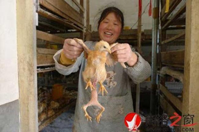 four legged chicken