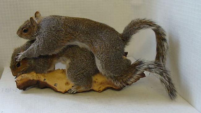 squirrel sex Terrible taxidermy: two Squirrels having sex on a log