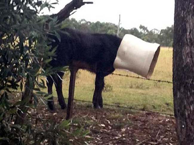 Cow toilet Cow gets head stuck in toilet