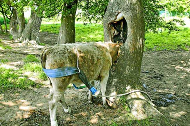Cow tree Cow gets head stuck in toilet