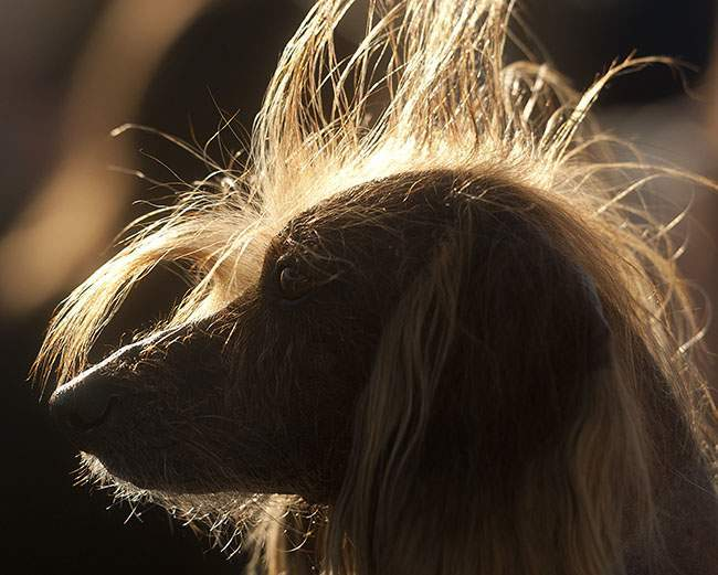 Isaboo, a 7-year-old Chinese Crested, basks in the sun after competing in the 25th annual World's Ugliest Dog Contest at the Sonoma-Marin Fair on Friday, June 21, 2013, in Petaluma, Calif. Isaboo won third place in the mutt category. (AP Photo/Noah Berger)