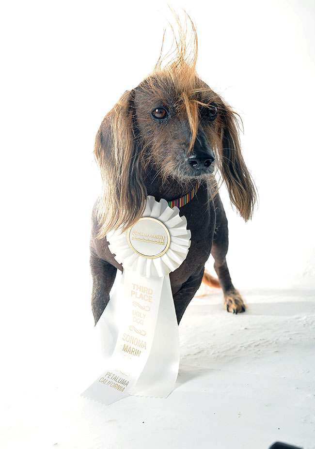 Isaboo poses for a portrait while competing in the 25th annual World's Ugliest Dog Contest at the Sonoma-Marin Fair on Friday, June 21, 2013, in Petaluma, Calif. (AP Photo/Noah Berger)