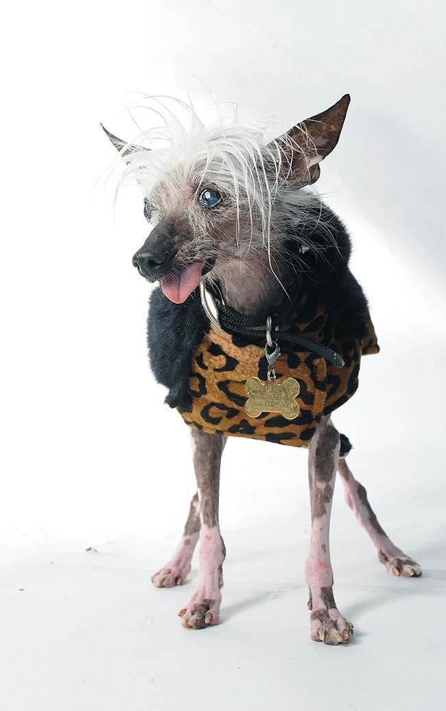 Rascal poses for a portrait while competing in the 25th annual World's Ugliest Dog Contest at the Sonoma-Marin Fair on Friday, June 21, 2013, in Petaluma, Calif. (AP Photo/Noah Berger)
