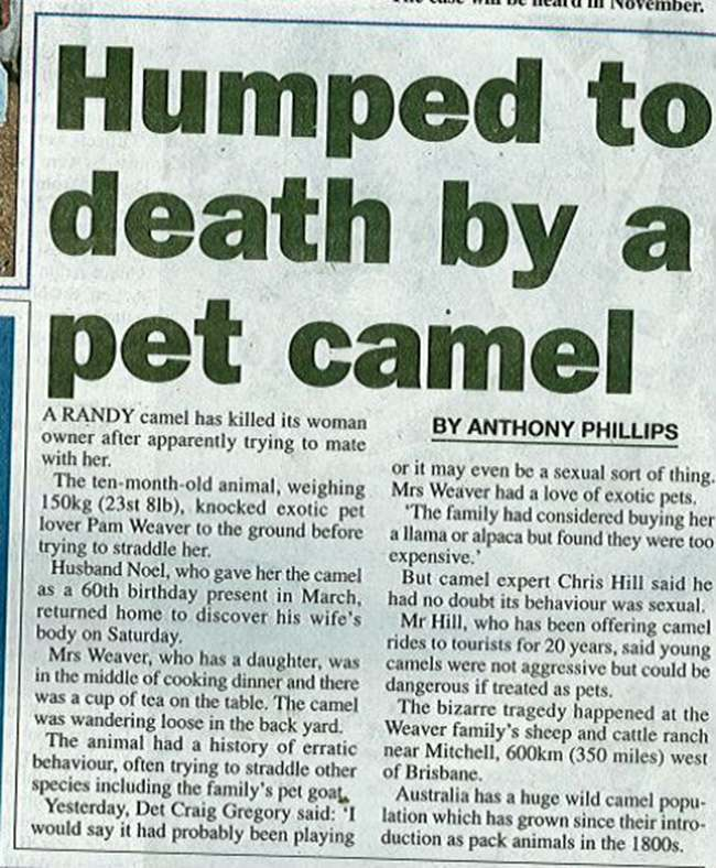 camel humps woman to death Woman humped to death by tea total pet camel