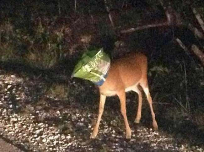 deer doritos Deer gets head stuck in Doritos bag