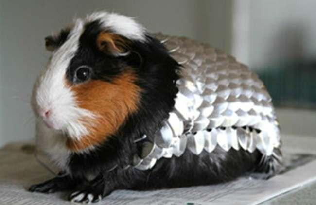 game of thrones guinea pigs 2